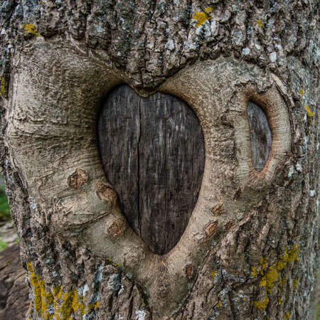 buildup: The build-up on the tree in the shape of a heart, tree bark pattern formed in the shape of heart pattern, summer day Stock Photo
