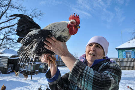 grown up: Krasnodar, Russia - January 19, 2015: An elderly woman showing a big cock, which has grown up in a household. Winter bright sunny day.