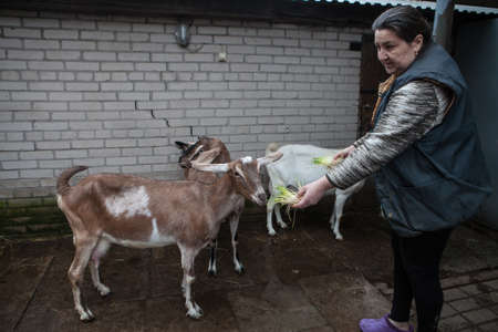 personally: Saint-Petersburg, Russia - December 14, 2014: Goat Saanen. The woman in the yard with a group of purebred goats personally grown it.
