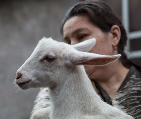 14: Saint-Petersburg, Russia - December 14, 2014: Goat Saanen. The woman in the yard with a group of purebred goats personally grown it. The kid on the hands.