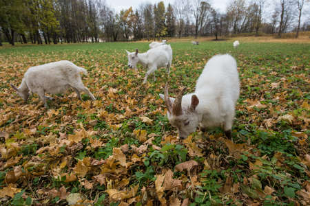 A herd of goats Zaanen breed grazing in the meadow dotted with yellow autumn leaves. In the foreground, a white kid.