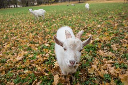 ovejitas: Un rebaño de cabras de raza Zaanen pastoreo en el prado salpicado de hojas amarillas. En primer plano, un niño blanco.