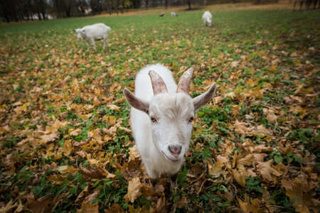 diminutive: A herd of goats Zaanen breed grazing in the meadow dotted with yellow autumn leaves. In the foreground, a white kid.