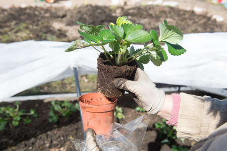 hotbed: Planting of strawberry seedlings from special pots into the ground in a special equipped greenhouse made by own hands in spring time on the backyard.