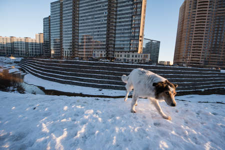 non: St. Petersburg, Russia - January 21, 2017: New residential district of the city. Paddling of a non-pedigree dog on the outskirts on a winter sunny day.
