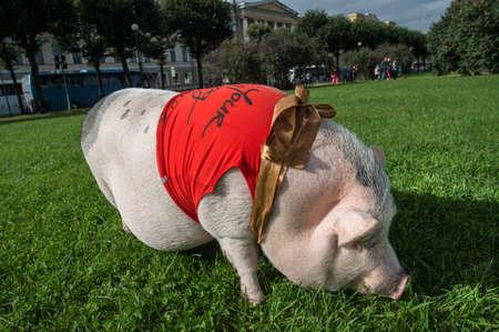 St. Petersburg, Rusland - 25 september 2016: Een groot minivarken loopt op het gazon in het stadspark.