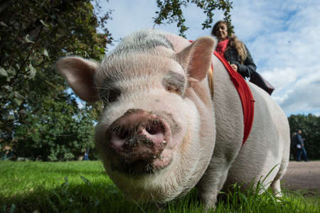 St. Petersburg, Russia - September 25, 2016: A woman is walking in the city park on the grass of a large mini pig. Editorial