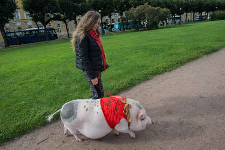 St. Petersburg, Russia - September 25, 2016: A woman is walking in the city park on the grass of a large mini pig. 新聞圖片