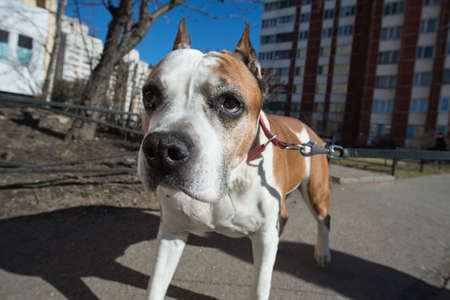 American Staffordshire Terrier stands on the background of residential buildings
