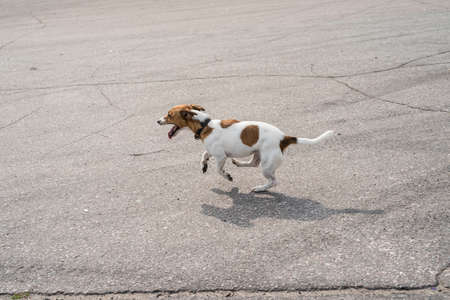 a hunting dog of the breed Parson Russel Terrier plays on the asphalt during the dressing