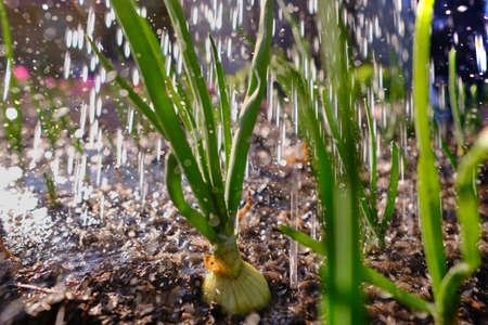 Rows of green onions grown on an open, moist, well-fertilized open ground. In the afternoon sunny bright light illuminates the planting of vegetables. Stock Photo