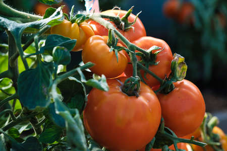 Large branch with medium-sized pink and red tomatoes. Summer harvest of vegetables. Illuminated by bright sunshine.