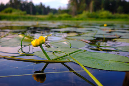 A water lily flower on a calm smooth surface of a quiet small river surrounded by forest. Beautiful typical authentic landscape of the middle northern strip of Europe. Water plant. Flower in one copy