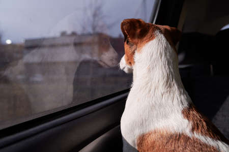 Dog Jack Russell Terrier looks curiously at the car window. Bright sunshine. Soft drawing pictures. Waiting for the owner of the driver in the parking lot Color light brown and white