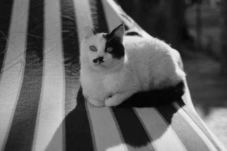 A fluffy, cute cat in white and black spots lies on a striped mattress, looking warily into the camera lens on a sunny day