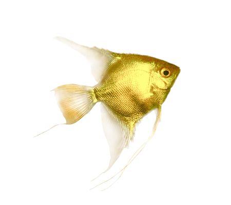 scalare: Pterophyllum scalare, isolated on white background  goldfish Stock Photo
