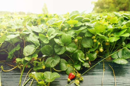 growing strawberries in the farm photo