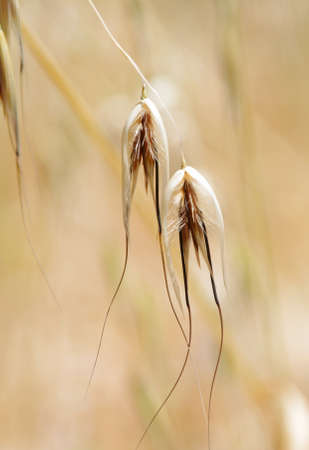 macro closeup of rye in the field photo