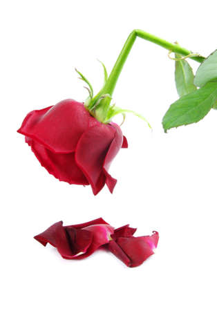 red broken rose isolated on white Stock Photo
