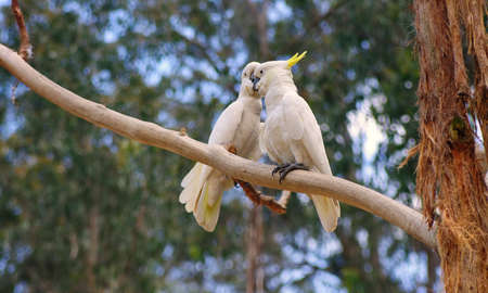 cockatoos: couple of australian cockatoos closeup Stock Photo