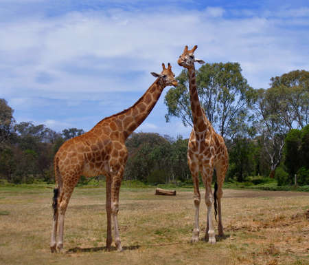 couple of giraffes in the wild nature