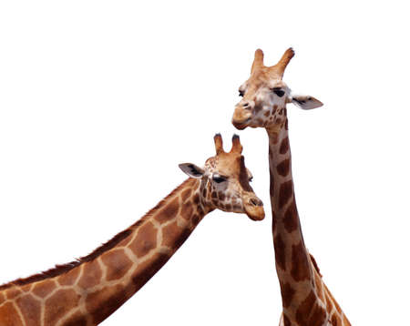 two giraffes in love portrait over white surface photo
