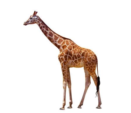 jirafa fondo blanco: jirafa aislados en el blanco Foto de archivo
