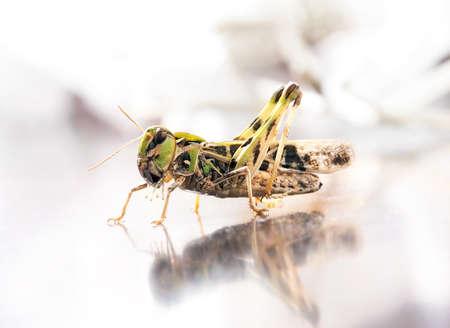 langosta: Locust closeup macro portrait Foto de archivo