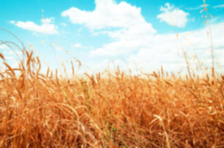 Unfocused picture of wheat field on the summer day Stock Photo