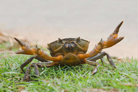 a crab in an attacking mood