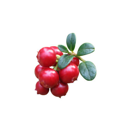 Vector realistic cowberries with leaves. Isolated objects