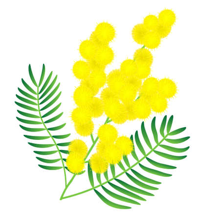 Yellow mimosa flower. Isolated on white illustration Vector Illustration