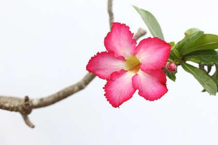 pink flower of desert rose photo