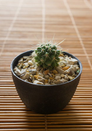 gardening: Mini cactus on bamboo screen. Japanese style.