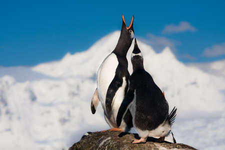 Penguins singing on a rock in Antarctica. Mountains in the background photo