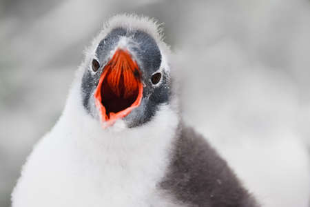 Fledgling penguin with a red beak looks into the camera and yells photo