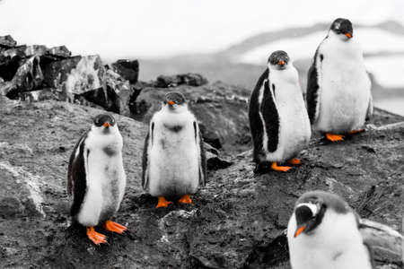 Small group of penguin chicks with red beaks and legs are on the black rock photo