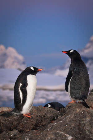 Two penguins are talking, standing on a mountain in Antarctica photo