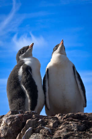 two identical penguins resting on the stony coast of Antarctica Stock Photo - 8130495