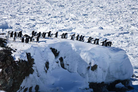 a large group of penguins having fun in the snowy hills of the Antarctic Stock Photo - 8130557