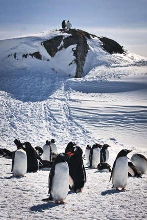 pinguins: un grand groupe de pingouins s'amusent dans les collines enneig?es de l'Antarctique