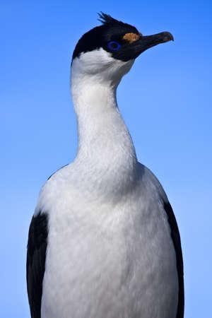 portrait of wild blue-eyed bird in Antarctica Stock Photo - 8130694