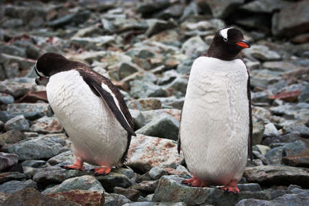 two identical penguins resting on the stony coast of Antarctica Stock Photo - 8130618