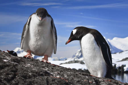 two penguins resting on the stony coast of Antarctica Stock Photo - 8204344
