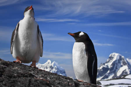 two penguins resting on the stony coast of Antarctica Stock Photo - 8204343