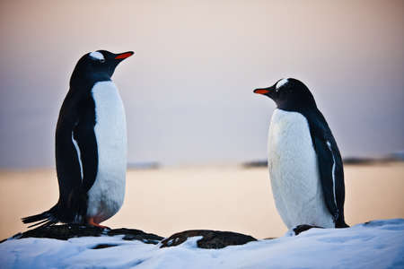 two identical penguins resting on the stony coast of Antarctica Stock Photo - 8204356