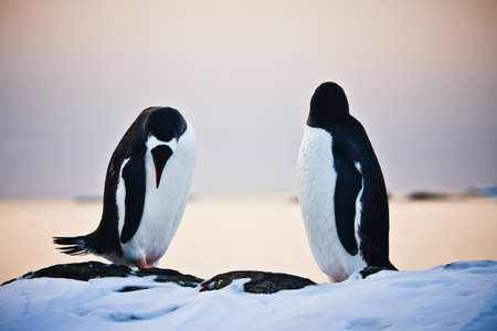 two identical penguins resting on the stony coast of Antarctica Stock Photo - 8312032