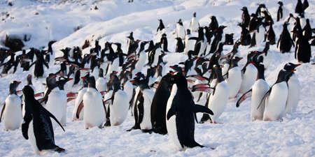 Eine große Gruppe von Pinguinen Spaß in den schneebedeckten Bergen der Antarktis Standard-Bild - 8312043