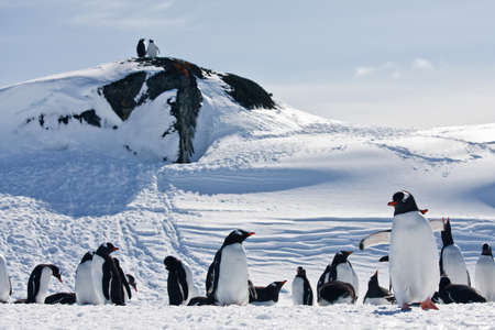 a large group of penguins having fun in the snowy hills of the Antarctic photo