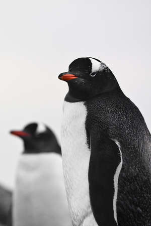 two identical penguins resting on the coast of Antarctica Stock Photo - 8410854